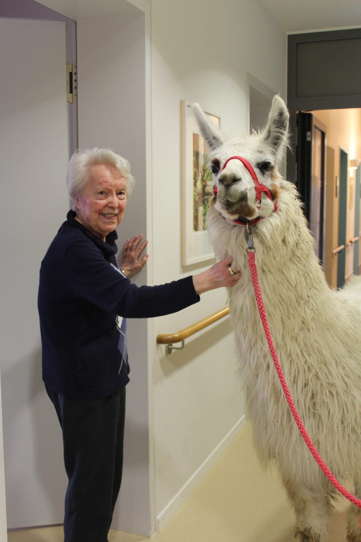 Ein Lama auf Besuch